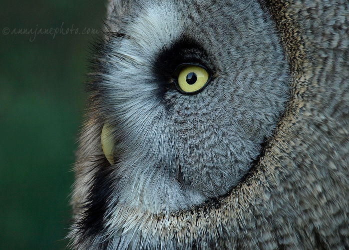 Great Grey Owl Profile - 20081108-great-grey-owl-profile.jpg - Anna Nielsson