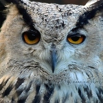 Rock Eagle-Owl