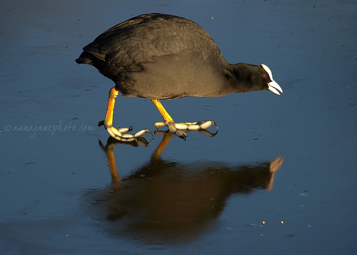 Coot on Ice - 20090108-coot-on-ice.jpg - Anna Nielsson