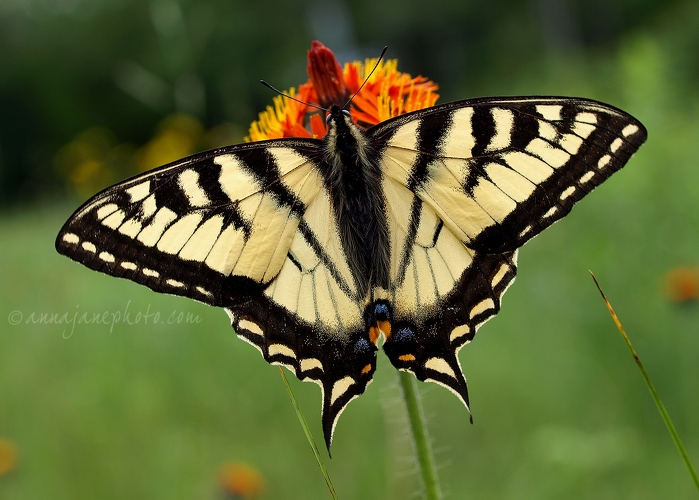 Tiger Swallowtail Butterfly - 20090625-tiger-swallowtail-butterfly.jpg - Anna Nielsson