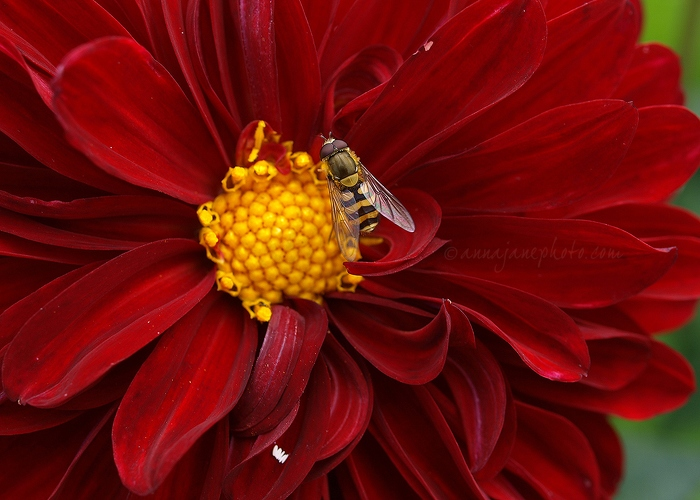 Red & Yellow - 20100731-red-yellow-flower.jpg - Anna Nielsson