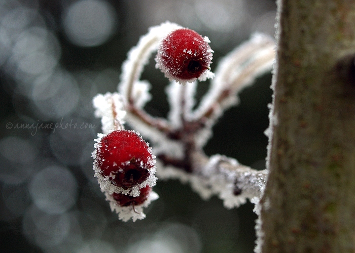 Frosty Berries - 20101206-frosty-berries.jpg - Anna Nielsson