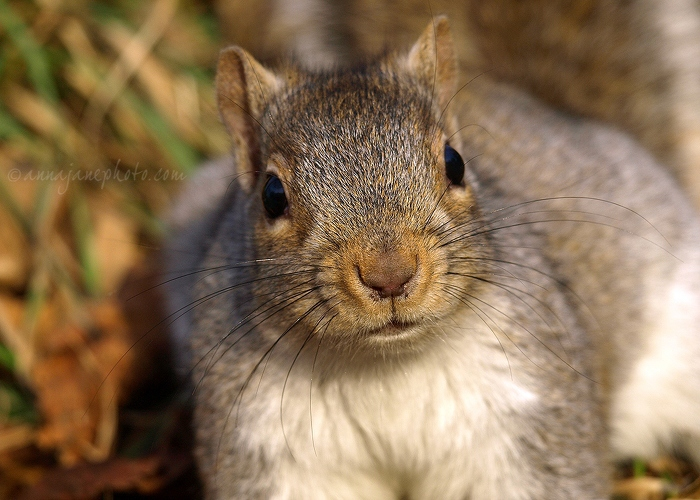 Grey Squirrel - 20101207-grey-squirrel.jpg - Anna Nielsson