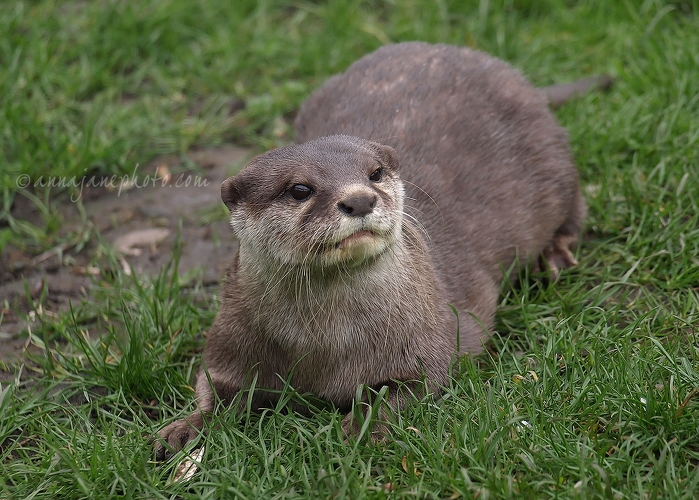 Ned - 20120404-asian-short-clawed-otter.jpg - Anna Nielsson