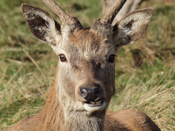 Red Deer Buck - 20121027-red-deer-buck.jpg - Anna Nielsson