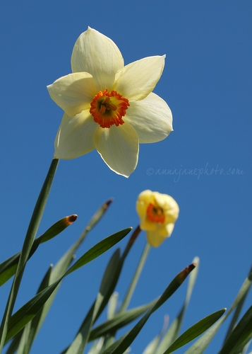 20130426-daffodils-and-blue-sky.jpg