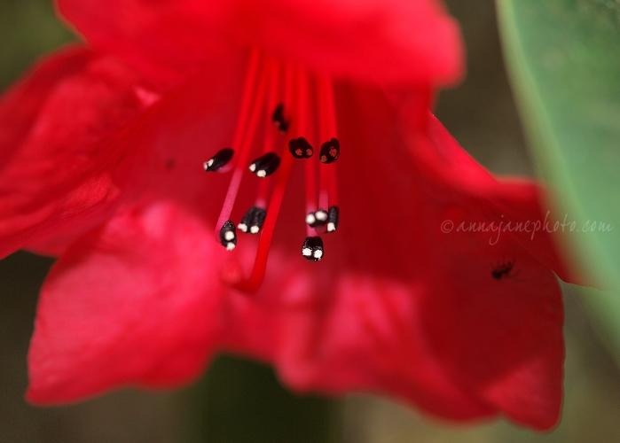 Rhododendron - 20140420-red-rhododendron.jpg - Anna Nielsson
