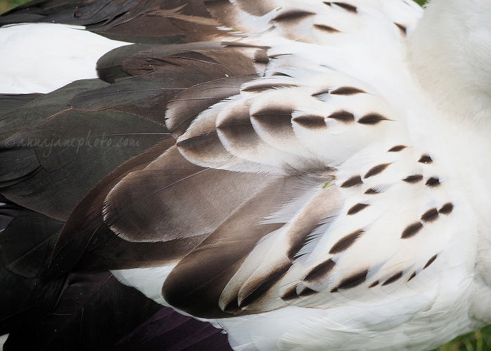 Andean Goose - 20140825-andean-goose-feathers.jpg - Anna Nielsson