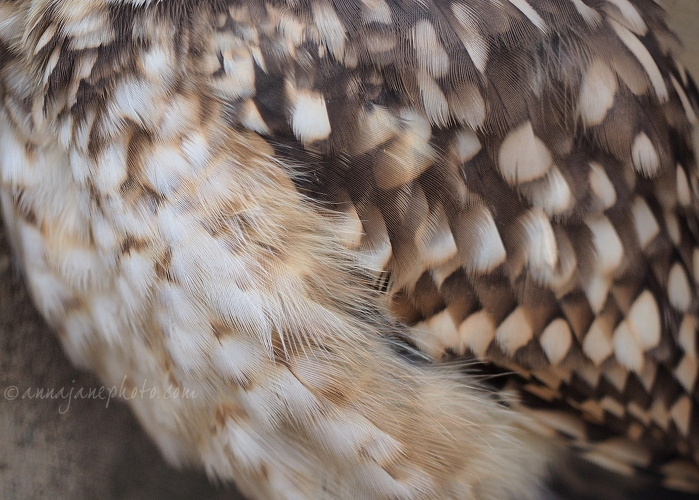 Burrowing Owl - 20140825-burrowing-owl-feathers.jpg - Anna Nielsson