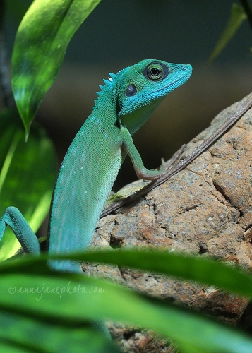 Green Crested Lizard - 20150302-green-crested-lizard.jpg - Anna Nielsson