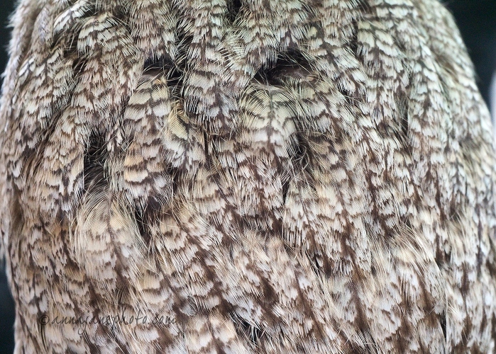Great Grey Owl Feathers - 20150314-great-grey-owl-feathers.jpg - Anna Nielsson