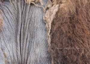 Moulting Camel