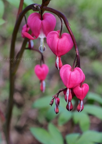 Bleeding Hearts - 20150426-bleeding-hearts.jpg - Anna Nielsson