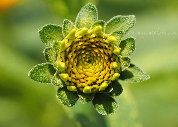 Yellow & Green - 2015070-yellow-and-green-flower.jpg - Anna Nielsson