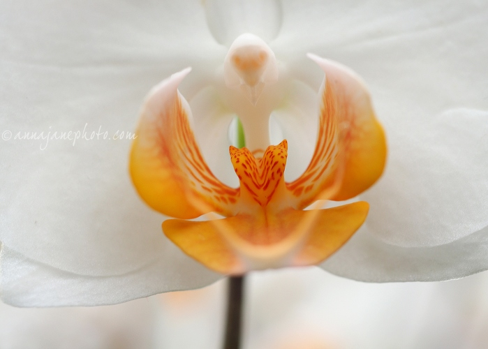 White Orchid - 20150720-white-orchid.jpg - Anna Nielsson