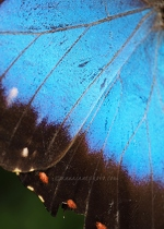 Blue Morpho Butterfly Wing