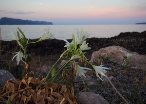 Sea Daffodils at Sunset