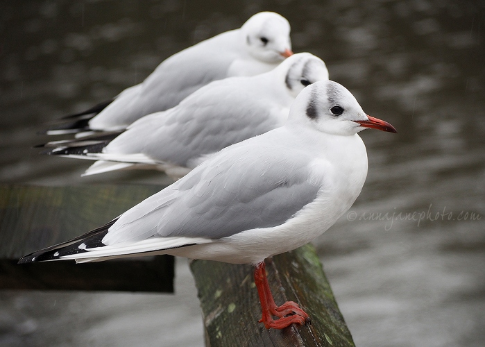 Black-Headed Gulls - 20151225-black-headed-gulls.jpg - Anna Nielsson