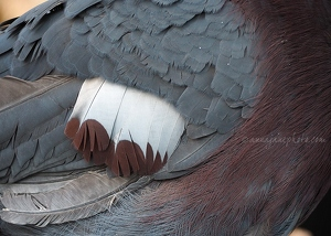 Victoria Crowned Pigeon Feathers