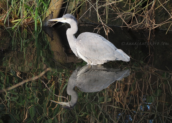 Heron - 20160120-heron-reflection.jpg - Anna Nielsson