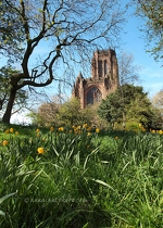 Liverpool Cathedral & Daffodils