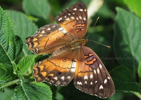 Brown Peacock Butterfly