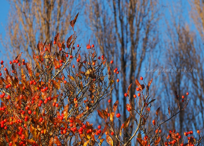 20161125-autumn-leaves-and-berries.jpg