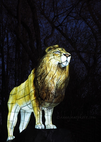 20161125-lion-lantern-chester-zoo.jpg