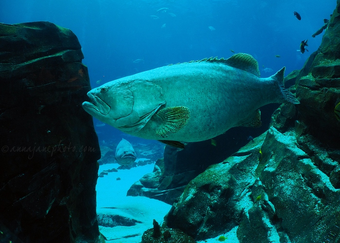 Giant Groupers - 20161223-giant-groupers.jpg - Anna Nielsson