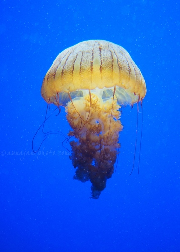 South American Sea Nettle - 20161223-south-american-sea-nettle.jpg - Anna Nielsson