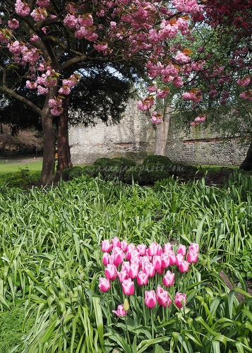 Pink Blossom and Tulips - 20170415-pink-flowers-york.jpg - Anna Nielsson