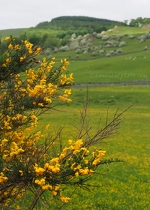 Gorse and Hawthorn