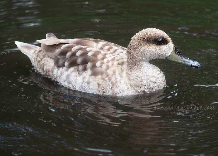 Marbled Teal - 20170607-marbled-teal.jpg - Anna Nielsson