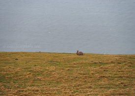 Great Orme Rabbit