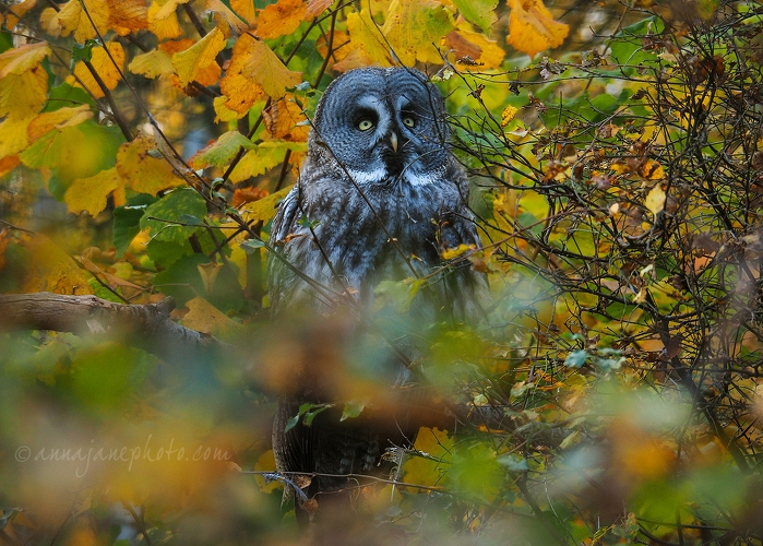 Great Grey Owl - 20181021-great-grey-owl.jpg - Anna Nielsson
