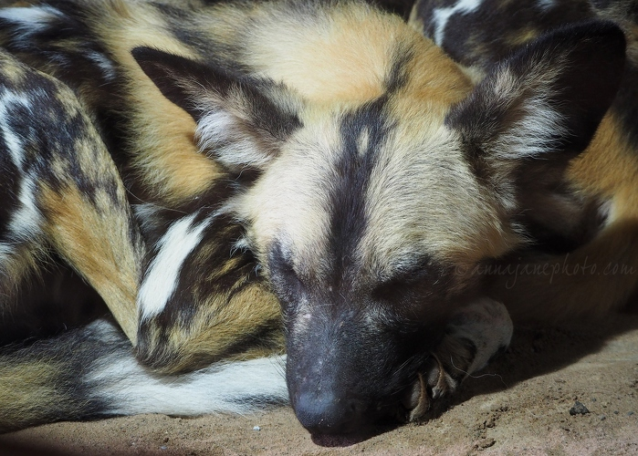 African Painted Dogs - 20190121-painted-dog.jpg - Anna Nielsson