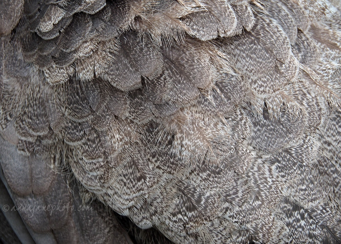 20190928-peahen-feathers.jpg