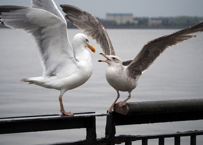 20200428-herring-gull-fight.JPG