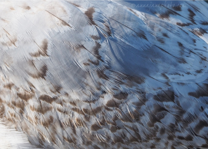 20200427-juvenile-common-gull-feathers.JPG