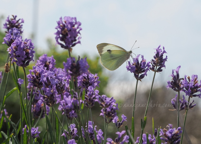 20200626-butterfly-and-lavender.JPG