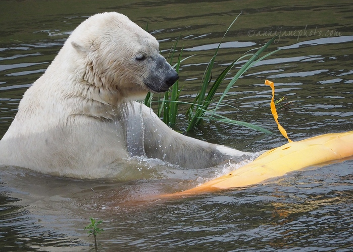 20200702-polar-bear-and-kayak.JPG