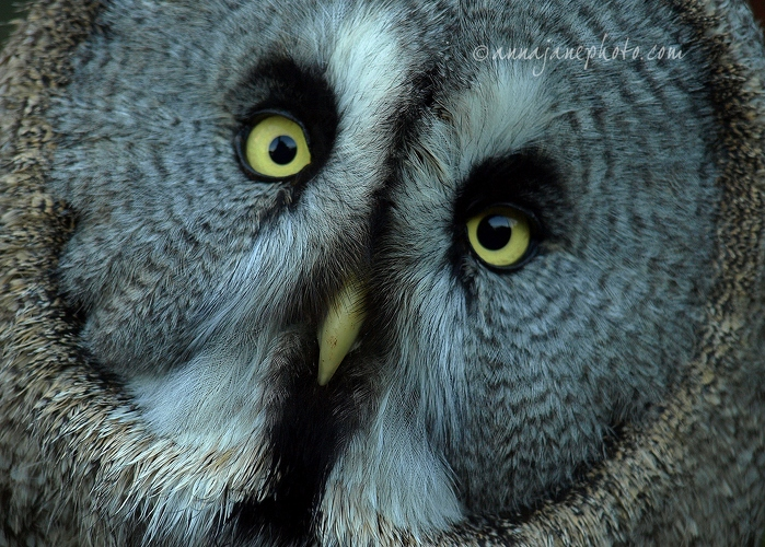 Great Grey Owl  - 20081108-great-grey-owl.jpg - Anna Nielsson