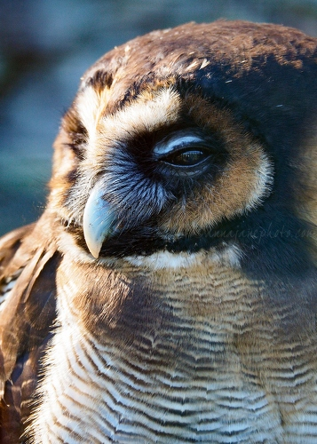 Brown Wood Owl - 20180405-brown-wood-owl.jpg - Anna Nielsson