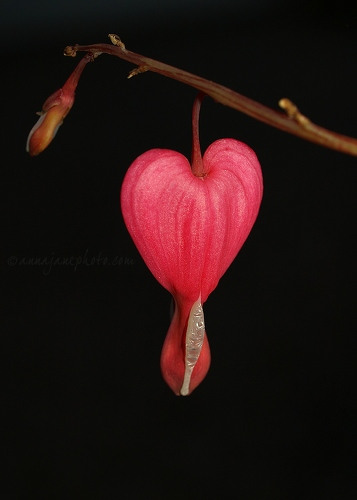 Bleeding Heart - 20090411-bleeding-heart.jpg - Anna Nielsson
