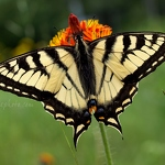 Tiger Swallowtail Butterfly - Anna Nielsson