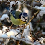 Blue Tit in Snow - Anna Nielsson