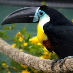 Channel-Billed Toucan - Anna Nielsson