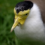 Masked Lapwing - Anna Nielsson