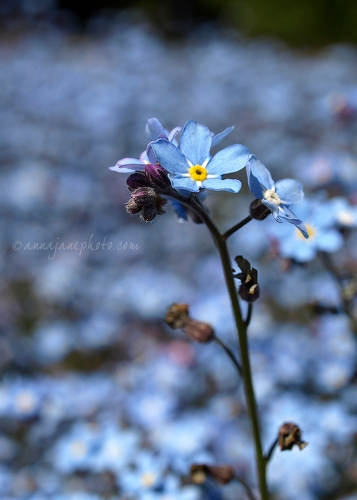 Forget-Me-Nots - 20100515-forget-me-nots.jpg - Anna Nielsson