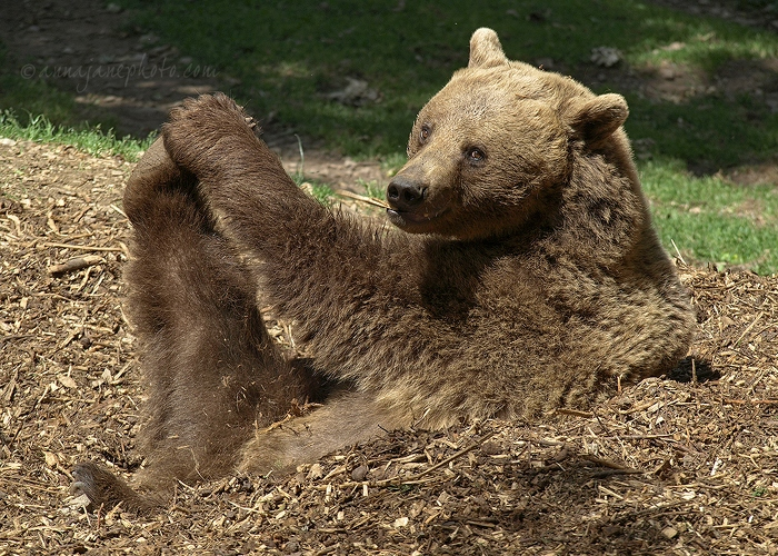 European Brown Bear - 20110614-european-brown-bear.jpg - Anna Nielsson